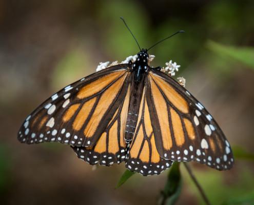 Monarchfalter (Mariposa Monarca)