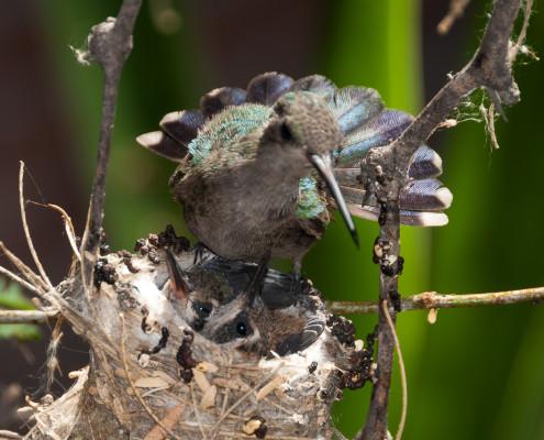 Kolibri-Dame mit den beiden Babys (weitere Bilder in der Kolibri Fotogalerie)
